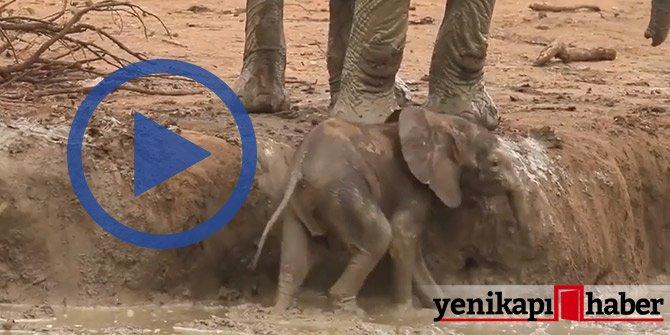 Bütün çabası çamurdan çıkmaktı! Yavru filin zor anları...