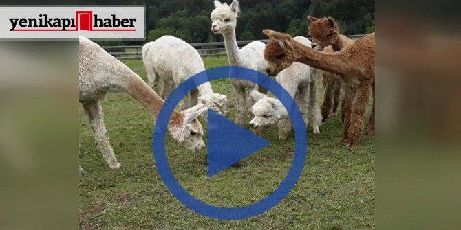 Kirpi gören Alpakalar ne yapacaklarını şaşırdılar!