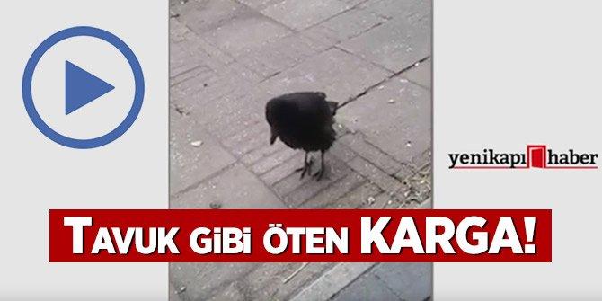 Tavuk gibi öten KARGA!