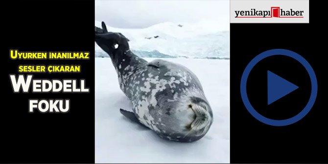 Uyurken inanılmaz sesler çıkaran Weddell foku!