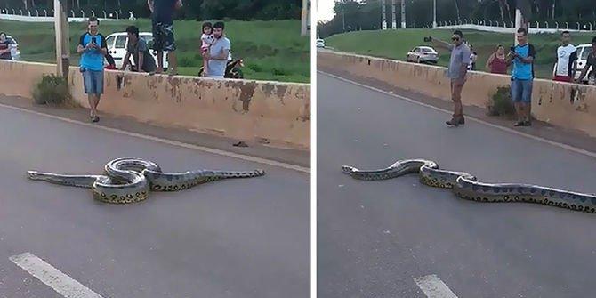 3 metrelik dev anakonda trafiği durdurdu